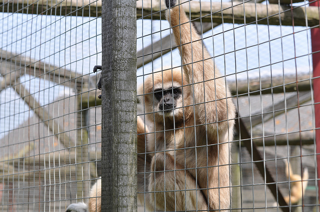 Lar Gibbon hangs on its cage