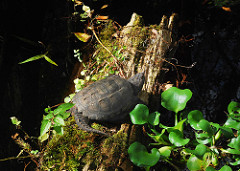 Common Snapping Turtle, Chelydra serpentina