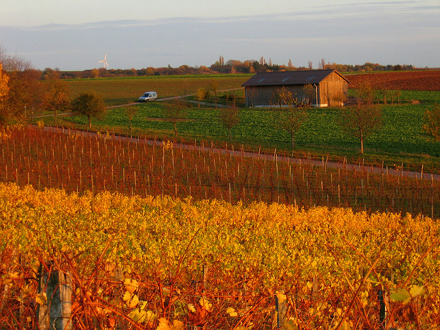 Flaming vineyards in Franconia (Franken)