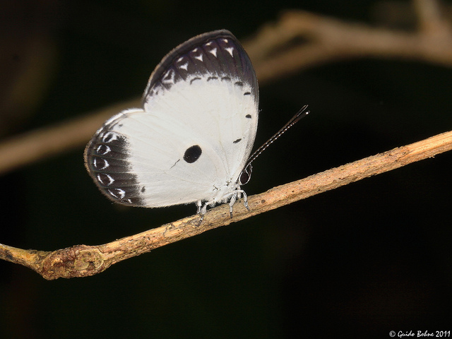 Pied Blue butterfly from W-Papua