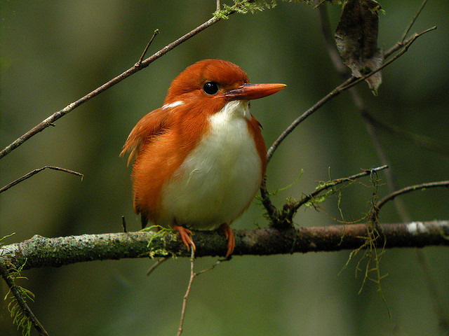 Madagascar Pygmy Kingfisher (Corythornis madagascariensis), Mantadia National Park, Madagascar