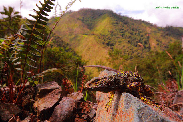 Whorltail iguana or Guagsa (Stenocercus sp.) in Chimboroga, Ecuador