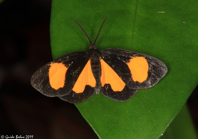 little moth from W-Papua (Raja Ampat)