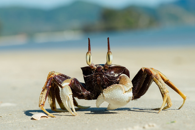Ocypode ceratophthalma,  horned ghost crab - Krabi / Thailand